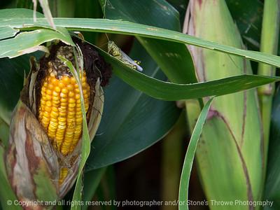 015-corn_grasshopper-story_co-27aug17-12x09-002-1063