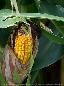 015-corn_grasshopper-story_co-27aug17-09x12-001-1063