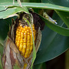 015-corn_grasshopper-story_co-27aug17-09x12-001-1063