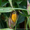 015-corn_grasshopper-story_co-27aug17-12x08-007-1063