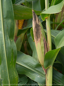 015-corn_plant-story_co-27aug17-08x12-007-1074