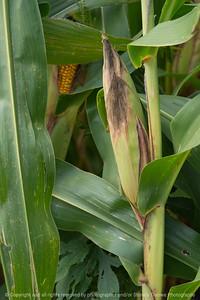 015-corn_plant-story_co-27aug17-08x12-007-1074
