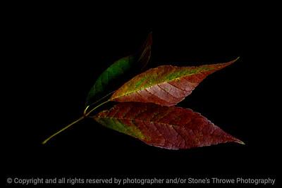 015-leaves-wdsm-13sep19-12x08-008-400-4045