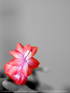 015-cactus_flower-wdsm-25feb10-cvr-comp-8547