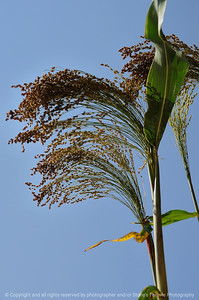 015-corn_tassle-urbandale-26sep08-0425
