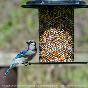 015-bird_blue_jay-wdsm-04may18-12x08-007-4234