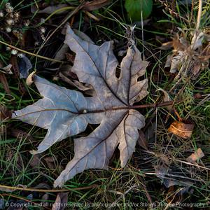 015-leaf-wdsm-24nov17-09x09-006-350-2927