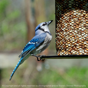 015-bird_blue_jay-wdsm-04may18-09x09-006-4258