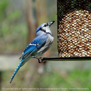015-bird_blue_jay-wdsm-04may18-09x09-006-4258