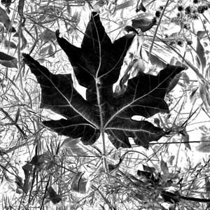 015-leaf-wdsm-24nov17-09x09-206-350-bw-2927
