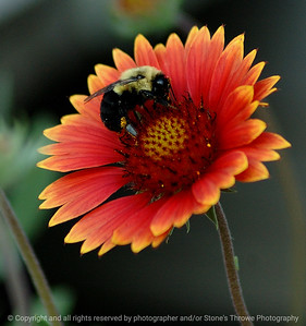 023-zinna_bumble_bee-warren_co-06sep07-3922