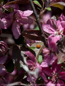 insect_ladybug-wdsm-26apr15-09x12-201-2717