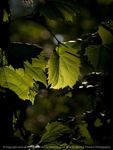 015-leaf_light-wdsm-10jul10-cvr-5883