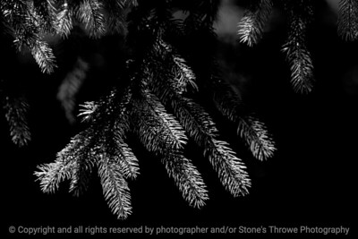 015-pine_needles-wdsm-20sep16-18x12-003-bw-5860