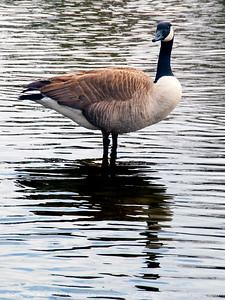 015-goose-wdsm-23mar15-09x12-001-2262