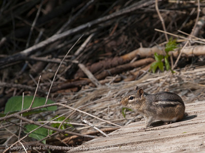 chipmunk-wdsm-03may15-12x09-002-3191
