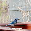 bird-blue_jay-wdsm-14apr15-09x12-001-2518