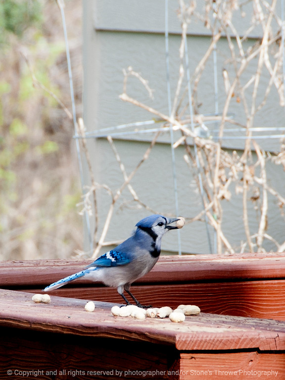 bird-blue_jay-wdsm-14apr15-09x12-001-2518