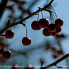 015-berry_winter-wdsm-10feb14-003-1198
