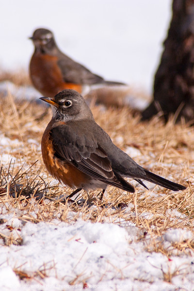 015-bird_robin-wdsm-11feb14-004-1219