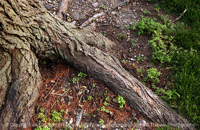 015-elm_tree_root-wdsm-07may05-c1-7347