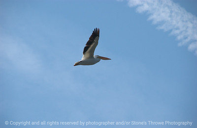 015-bird_pelican-wdsm-14apr08-2066