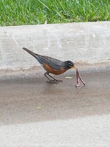 bird_robin-wdsm-25may15-09x12-001-3478