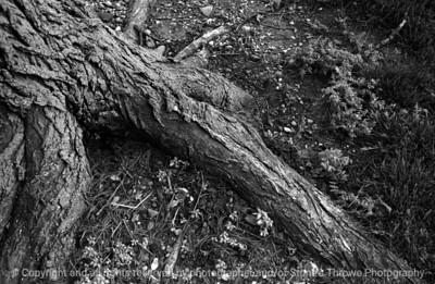 015-elm_tree_root-wdsm-07may05-bw-7347