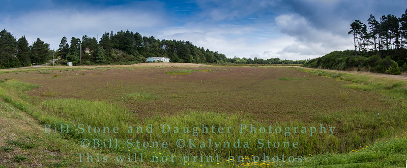 Commercial Cranberry Bog, Bandon Oregon