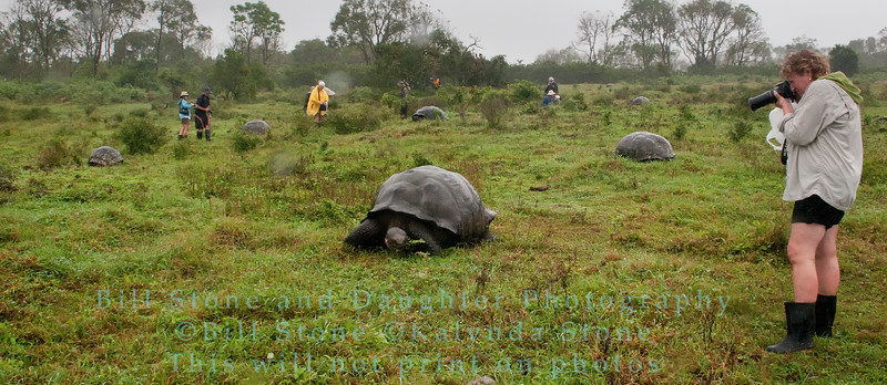 Among the Wild Galapagos Giant Tortoises-Isla Santa Cruz-Galapagos 4