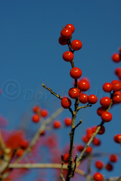 Winterberries against the sky!