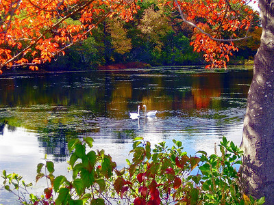 Fall Swans