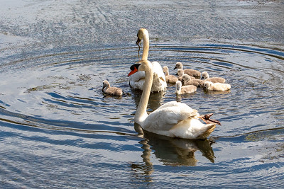 Mother's Day Swans-9