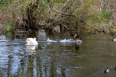 Daddy Swan Protects Family-4
