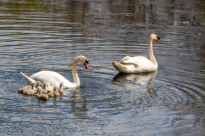 Mother's Day Swans-11