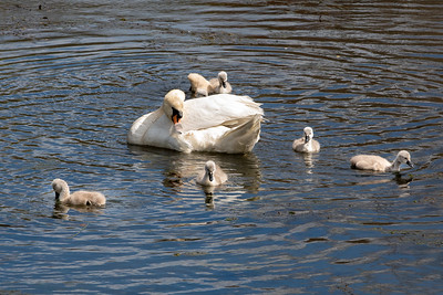 Mother's Day Swans-13
