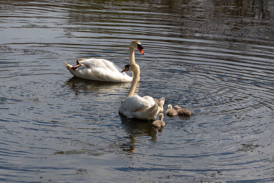 Mother's Day Swans-10