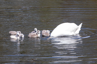 Mother's Day Swans-5