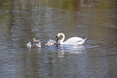Mother's Day Swans-3