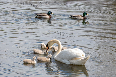 Mother's Day Swans-7