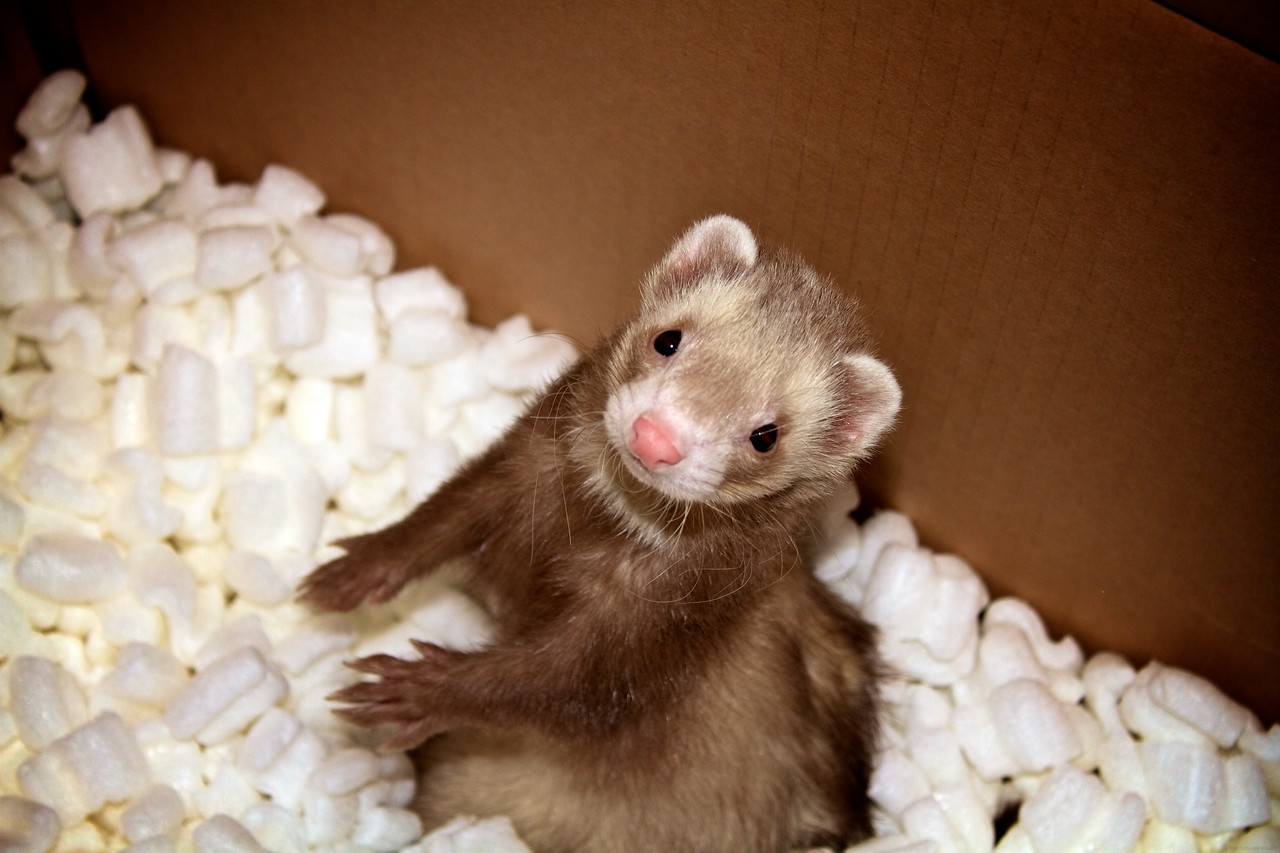 This is my cousin's pet Ferret. They have a total of 4 living in a 3 story cage in their house. Playtime for them consists of cardboard boxes taped together with packing peanuts inside.