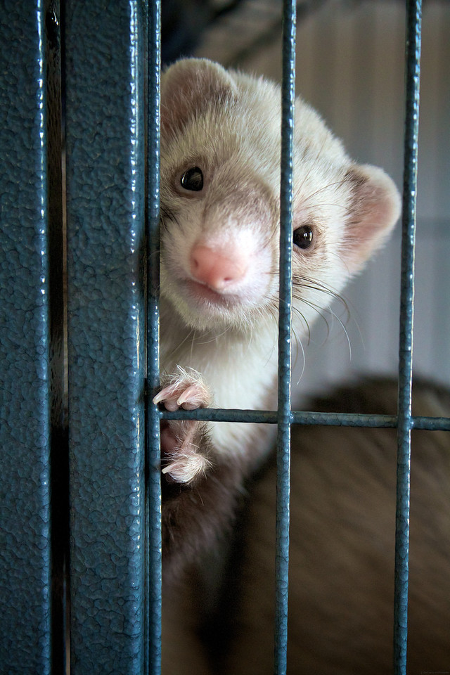 The Ferrets seemed to be fascinated with my camera and would pose for a shot.