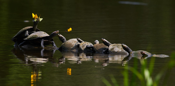River turtles (Podocnemis unifilatis) with butterflies