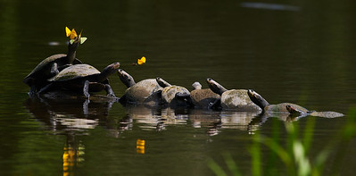 River turtles (Podocnemis unifilis) with butterflies