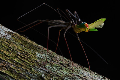 Amblypygid with katydid prey