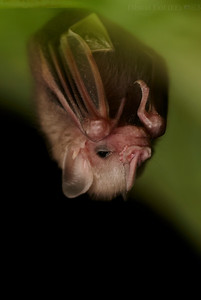 Baby leaf-nosed bat (Phyllostomidae)