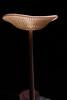 Backlit mushroom (Hymnopelis sp.)