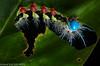 Saturniid moth caterpillar (Automeris sp.)