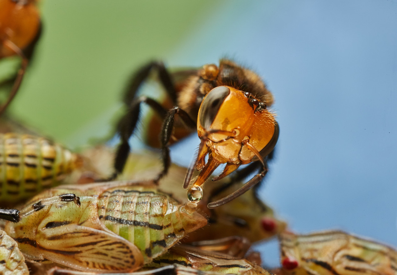 A stingless bee in a mutualistic relationship with treehopper nymphs