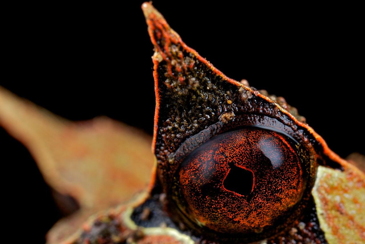 Leaf frog (Megophrys nasuta)